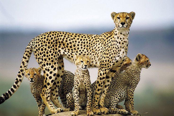 .: Cheetahs, Wild, Animals, Big Cats, Mother, Bigcats, Families, Photo