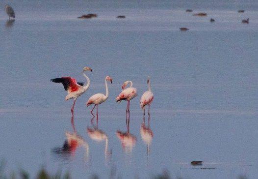Eveniment rar și frumos în România: 4 păsări flamingo au fost observate în Tulcea. Vezi aici foto: