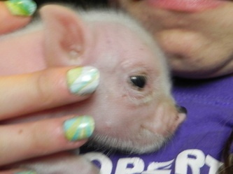 Cute micro piglet available