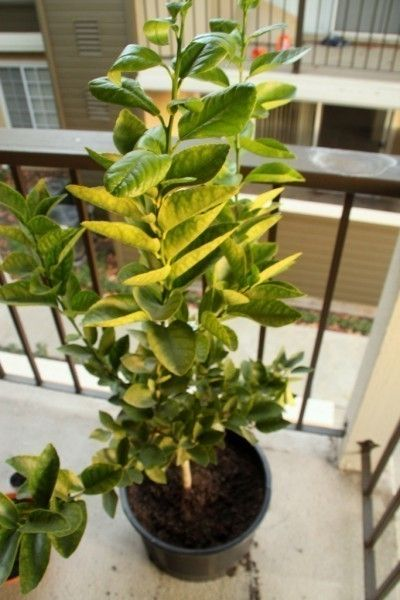 Growing potted lime trees indoors