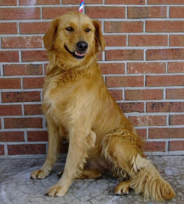 Adopt Sunday on Golden retriever mix, Dogs golden