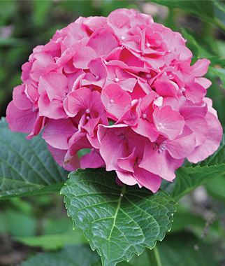 Masja Hydrangea Seeds and Plants, Perennnial Flowers at Burpee.com