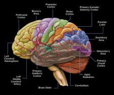 human brain parts labeled Human Brain Labeled Diagram