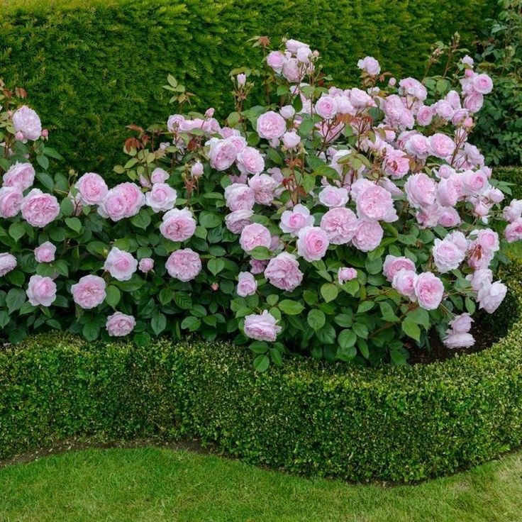 A border gives the rose garden a super neat and finished appearance! Try Buxus!