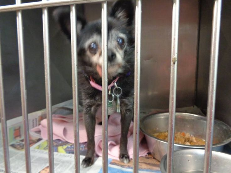 SWEET 16 YEAR FEMALE CHIHUAHUA HAS 4 DAYS LEFT TO LIVE - Owner surrender | ID: 32391 | Location: Valencia County Animal Shelter, 1209 Highway 314, Los Lunas, NM ♥ LET'S FIND A HOME FOR THIS PRETTY OLD LADY ♥ http://www.dogsindanger.com/dog.jsp?did=1471919750948