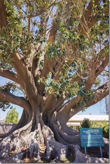 Burke & Wills Tree, Swan Hill | CaravanCampingOz.com