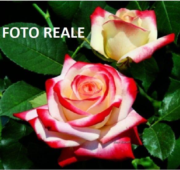 Dettagli Su Pianta Rosa Cesp Brevettata Imperatrice Farah
