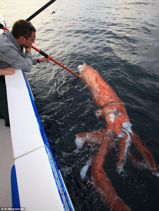 Monster from the deep! Squids are known to grow to this length but rarely seen - so it gave fisherman Al McGlashan a shock to discover this off the coast of New South Wales