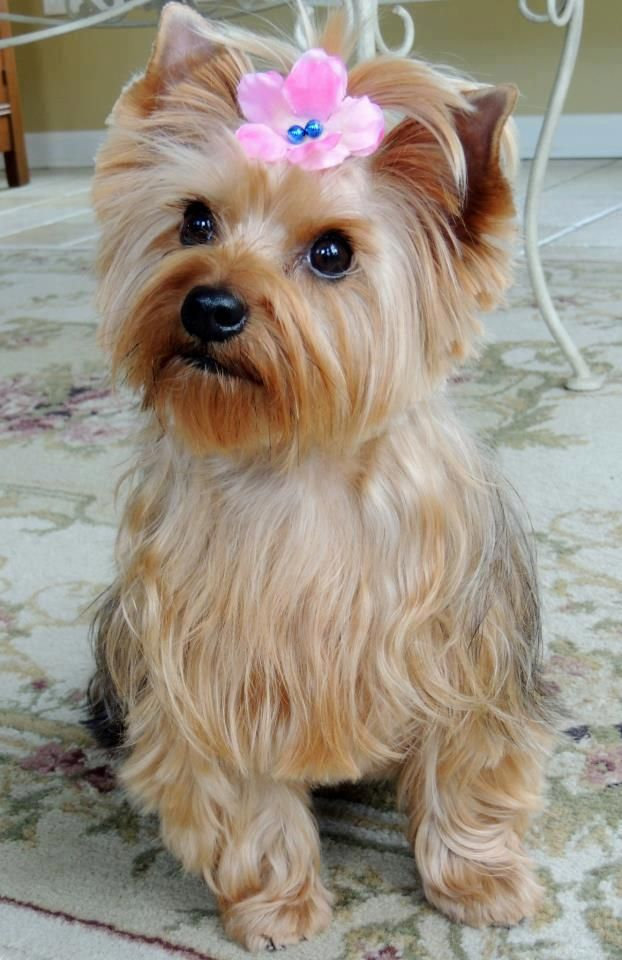 Puppy Love Bella The Morkie… She's a 2 year old cross
