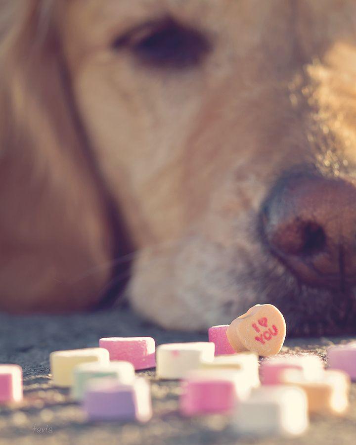 Sweet Pet Photo Session Idea / Valentine's Day / Yellow Labrador Retriever / Lab / Prop Ideas / Pet Photography / Puppy / Dog