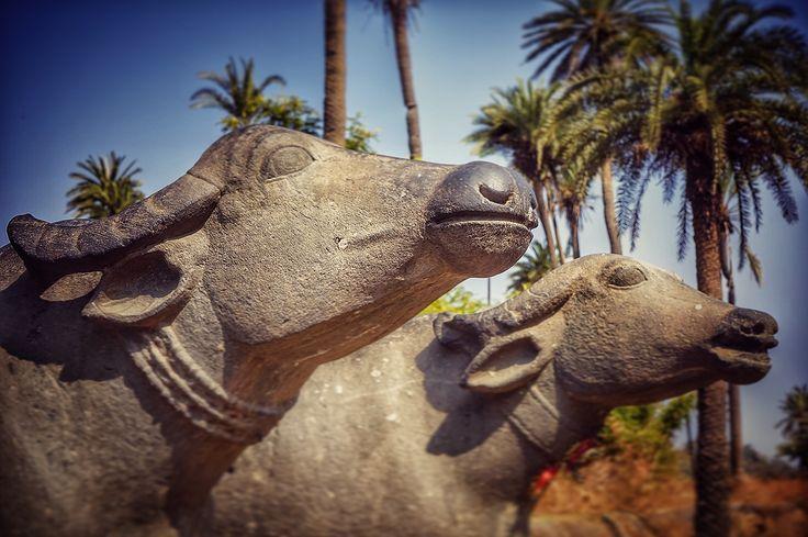 Mount Abu buffaloes