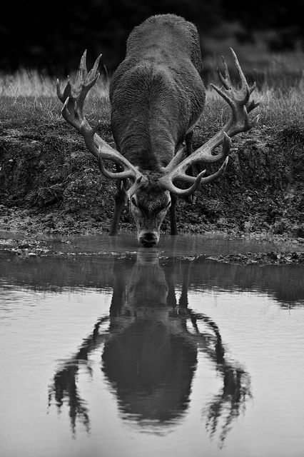 """""""The stag at eve had drunk his fill,  Where danced the moon on Monan's rill,""""  - Canto I, st. 1; Sir Walter Scott    Photo: George Wheelhouse                                                                                                                                                     More"""