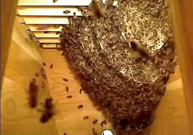 Cette impressionnante vidéo résume la vie des abeilles dans une ruche de la formation de la colonie jusqu'à la production de miel. On y voit le travail des abeilles en accéléré et c'est réellement impressionnant ! Il faut rappeler que …