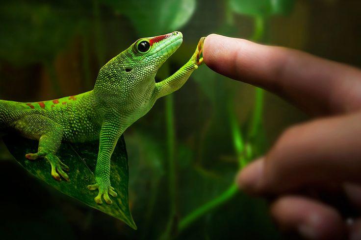 Gecko-Liebe von PureSunday
