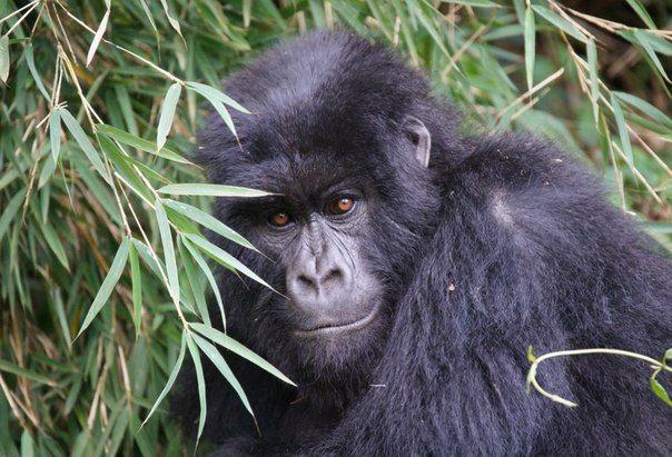 Горные гориллы (Gorilla beringei beringei) были впервые обнаружены в горах Вирунга. По данным экологов, сейчас в мире осталось не более 900 особей горных горилл, животные находятся на грани вымирания. Исследования проходили в местах их обитания: на границе Руанды, Уганды и Конго, в национальном парке Бвинди.