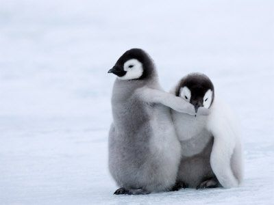 Aww, Penguins Chicks, Adorable, Box, Favorite, Emperor Penguins, Birds, Cute Baby Penguins, Animal
