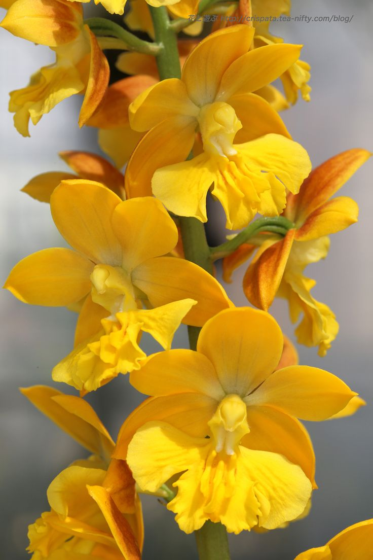 Yellow orchid                                                                                                                                                                                 More