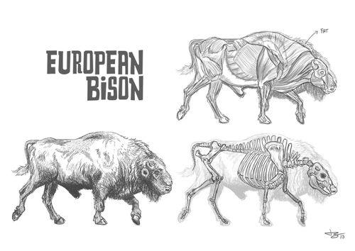 Bovine Study by Thomaz Scalzilli @ https://tomatoesland.wordpress.com/2013/07/18/bovine-studies/