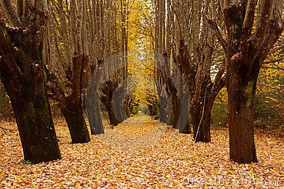 Way through trees with autumn leaves covering ground