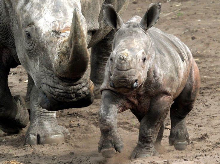 E' nato un rinoceronte nel parco safari del Serengeti a Hodenhagen, in Germania. Il cucciolo, di due mesi, ispeziona l'ambiente senza staccarsi un attimo dall'ombra della mamma. Si chiama Makena, che nella lingua kenyota kikuyu, significa 'felice'