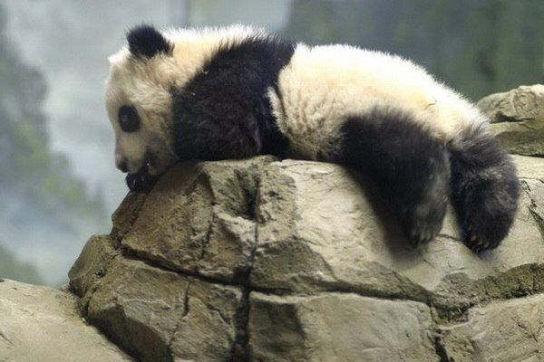 bao bao stretching exercises before panda play!!!