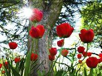 Bellissimo sfondo di Tulipani Rossi Raggio, con risoluzione 1280 x 1024 categoria Natura Fiori Fulmini per il Desktop del tuo PC. Foto spettacolare, wallpaper bellissimo
