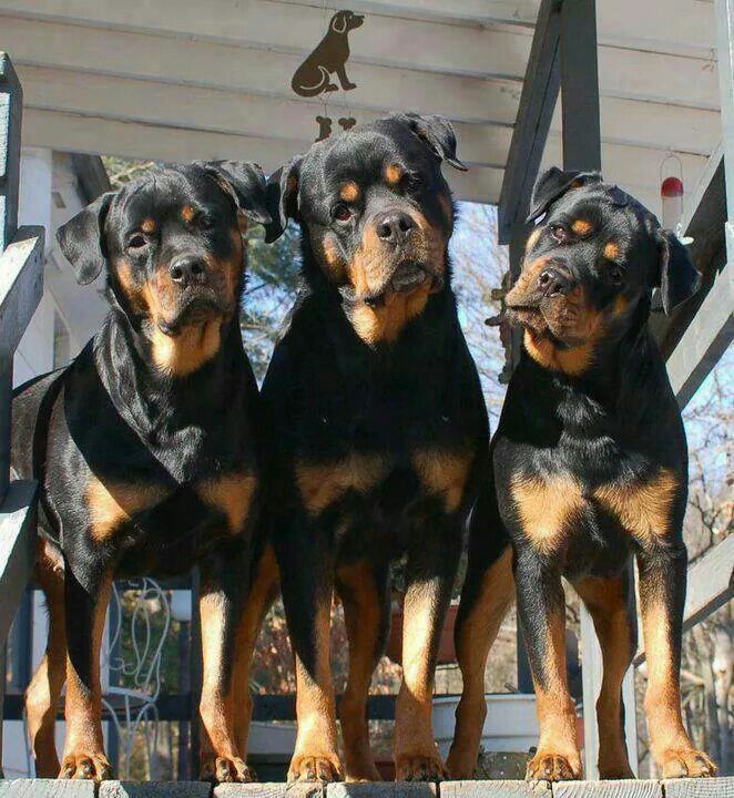 Big shots with head tilts! #dogs #pets #Rottweilers Facebook.com/sodoggonefunny