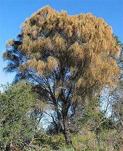 Allocasuarina verticillata tree. Photo not from the Arboretum