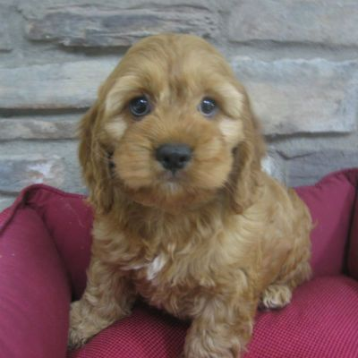 Cocker Spaniel/Poodle Mix all dogs all the time Pinterest