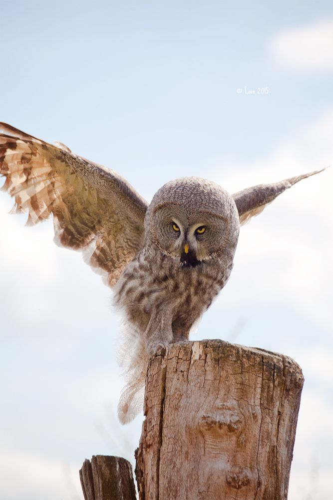 Great gray owl                                                                                                                                                                                 More