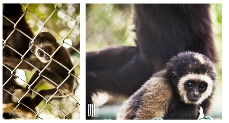 One of the baby gibbons born at the WFFT Rescue Center