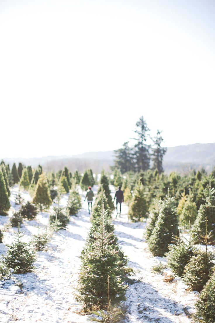 Beautiful Christmas tree farm in the snow