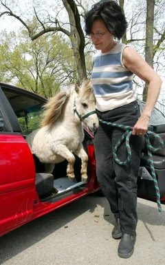 Here I am, with my mini horse jumping out of the car. I had to strap the kids on top though to make room for the horse ;)  haha... Love it!!  It is afterall my future :)
