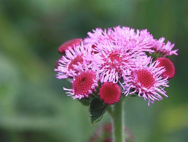 Speciale eenjarige planten  - Arctotis - Cerinthe en Ageratum voor de bloemenborder te planten