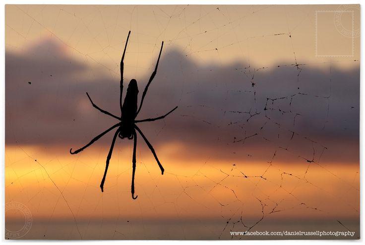 Nephila Spider in Zanzibar  All Images © Daniel Russell Photography www.facebook.com/danielrussellphotography