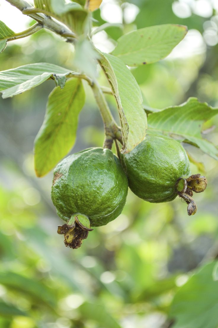 best 25 guava tree ideas on pinterest plum tree care pruning