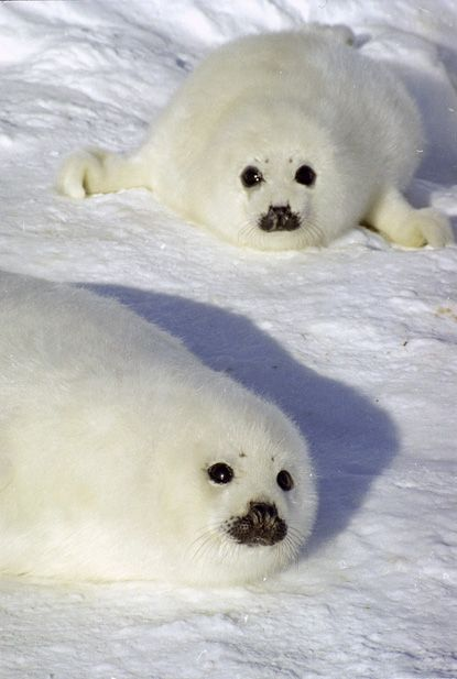 Baikal Seal - For the people that can club these little creatures with no remorse, I wish I could reach out and grab the monster with the club.