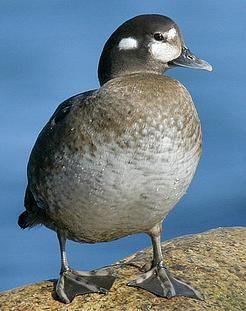 Harlequin Duck female