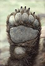 real bear paw - This is used to help me structure out the ...