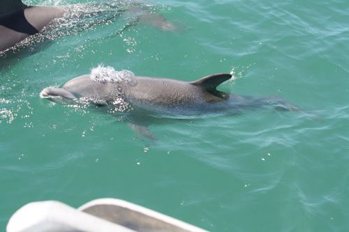 This little one was born in January 2011 and we named it Speedy. #baby #dolphin #cruise #watching