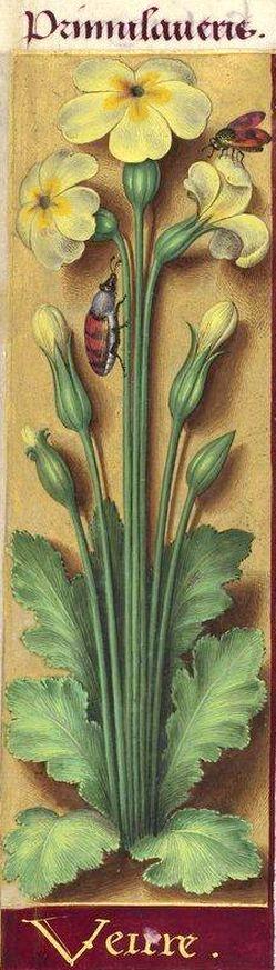 Veixre - Primula veris (Primula elatior L. = primevère) -- Grandes Heures d'Anne de Bretagne, BNF, Ms Latin 9474, 1503-1508, f°213v