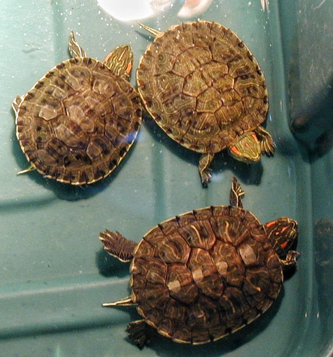 Turtle care and sick turtle help. Care sheets. Red-eared ...