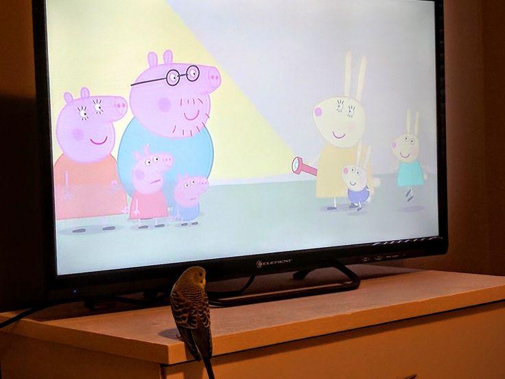 Happy likes watching Peppa Pig! 😊