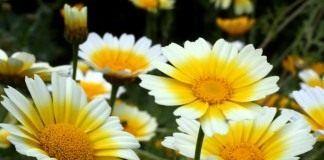 Хризантема овощная – красивая, вкусная и полезная - Лекарственные растения