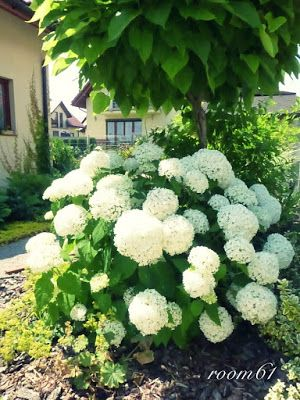 die besten 17 ideen zu trompetenbaum auf pinterest vorgarten ideen annabelle hortensie und. Black Bedroom Furniture Sets. Home Design Ideas