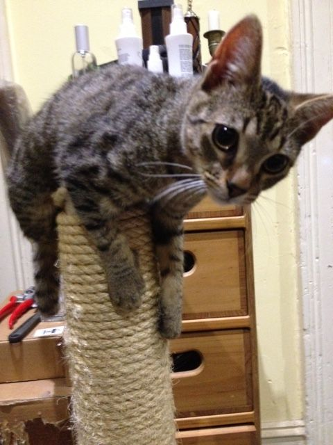 Cat Stress Score 3: Weakly Tense – the cat may be standing or moving, belly is not exposed, ears may be half back or erect, whiskers may be lateral or forward. Cat may be exploring. Or, in the case of Rusketus, balancing on a scratching post. Click through to learn how to keep your cats happy.