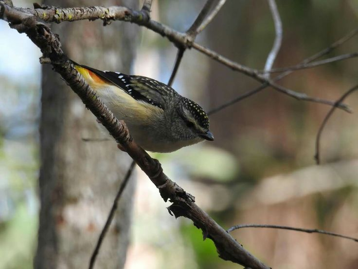 Spotted Pardalote - Daisy Hill, Brisbane