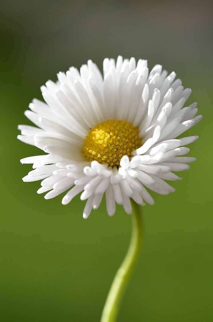 best  daisy flower photos ideas on   daisy, daisy, Beautiful flower