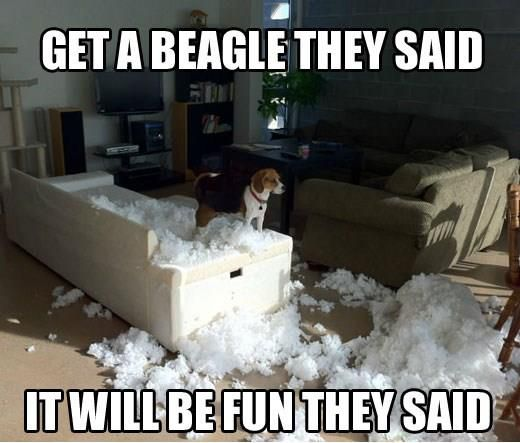 Beagle! Glad my Beagle isn't like this! ----- Also, click on the image to check out our exclusive Beagles t-shirt today! All sizes available in different colors. It's only $16.94 & available for a limited time on Amazon.com