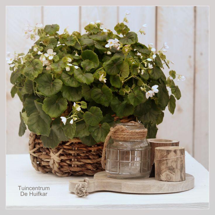 Begonia lorraine   Nederlandse naam: Kerstbegonia  Familie: Begoniaceae Standplaats: Geen volle zon maar wel veel licht. Indirect zonlicht. Kamertemperatuur : 18-25°C. Deze Begonia geeft prachtige witte bloemen rond de kerstperiode. Lichte plaats en regelmatig water.